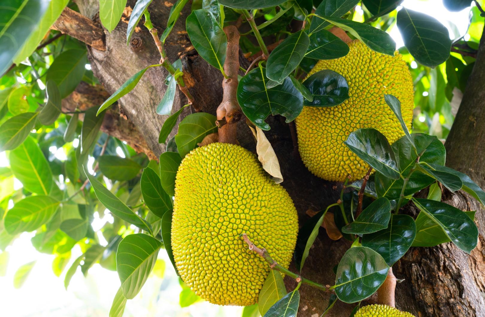 jackfruit - how it's grown
